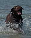 Brown labrador jumping in the water and have fun Stock Image