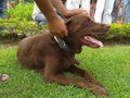 Brown Labrador retriever waiting for dog show Royalty Free Stock Photo