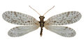 Brown Lacewing Micromus On Whi...