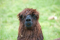 Brown lam adult male llama with dreadlocks instead of hair Royalty Free Stock Photography