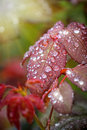 Brown leaf with water droplets Royalty Free Stock Photo