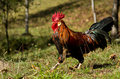 Brown Leghorn rooster Royalty Free Stock Photography