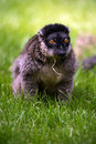 Brown lemur against a background of vivid green grass Stock Images