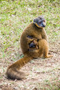 Brown lemur common fulvus endemic from madagascar and mayotte islands Stock Photos