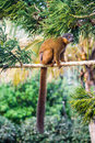Brown lemur common fulvus endemic from madagascar and mayotte islands Royalty Free Stock Images