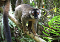 Brown lemur a in a madagascar rainforest Stock Photo
