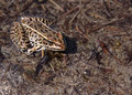 Brown Leopard Frog Stock Image