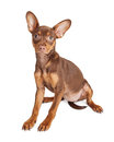Brown Little Dog Sitting Over White Royalty Free Stock Photo