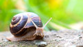 Brown long big snail round shell with stripes and with long horns crawling on the edge of stone Royalty Free Stock Photo