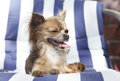 Brown long hair chihuahua panting with closed eyes a cute mini haired is enjoying the sun by lying on a sunbed cover a tongue Royalty Free Stock Images