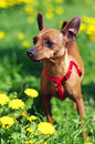 Brown long toy terrier in flowers stands grass and yellow Royalty Free Stock Images