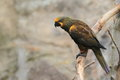 Brown lory Stock Image