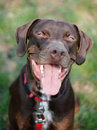 Brown Louisiana Catahoula Leopard Dog Stock Photo