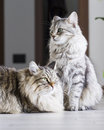 Brown male and silver female, siberian cats in the house