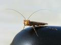 Brown mantis looking at the camera Royalty Free Stock Photo