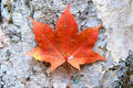 Brown maple leaf beautiful red in liaoning china Royalty Free Stock Image