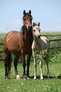 Brown mare with palomino foal on pasture standing in summer Royalty Free Stock Photos