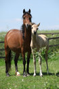 Brown mare with palomino foal on pasture Royalty Free Stock Photo