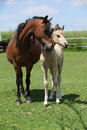 Brown mare with palomino foal on pasture together in summer Stock Image