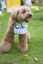 Brown miniature poodle a cute standing on the lawn Royalty Free Stock Image