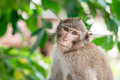 Brown monkey inclined his neck to look suspiciously stare Royalty Free Stock Photo