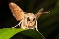 Brown moth Royalty Free Stock Photo