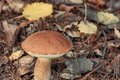 Brown mushroom in the autumn season Royalty Free Stock Images