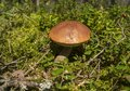 Brown mushroom in the woods. Fungus in the middle of trees and grass in forest. Sun shining. Royalty Free Stock Photo
