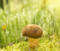 Brown mushroom ' Xerocomus badius'  in moss. Stock Photo