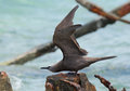 Brown Noddy Royalty Free Stock Photo