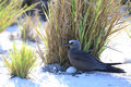 Brown noddy brooding an egg Royalty Free Stock Photo