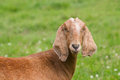 Brown Nubian goat in front of green background Royalty Free Stock Images