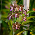 Brown orchid flowers purple square format Royalty Free Stock Images
