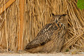 Brown owl on the background of straw yellow Stock Photo