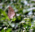 Brown Pansy Butterfly Royalty Free Stock Photo