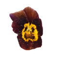 Brown pansy with dew drops Royalty Free Stock Photo
