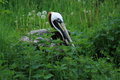 Brown pelican the adult lying in the grass Stock Photo