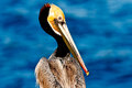 Brown pelican california image taken during mating season in la jolla california Stock Photography