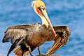 Brown pelican california image taken during mating season in la jolla california Stock Image