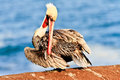 Brown pelican california image taken during mating season in la jolla california Stock Photos