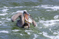 Brown Pelican Catching Fish Royalty Free Stock Photo