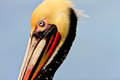 Brown pelican close up profile of a california image taken right before or at start of mating season the has lost most of Stock Images