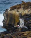 Brown pelican colorful feathers winter breeding plumage flying wings extended upward above cliffs filled harbor seals tourist Stock Photo