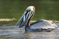 Brown Pelican Eating a Fish - Florida Royalty Free Stock Photo