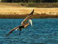 Brown pelican in flight Stock Images