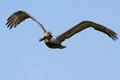Brown Pelican in Flight Royalty Free Stock Image