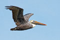 Brown pelican in flight against blue sky Royalty Free Stock Photos