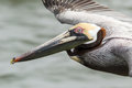 Brown pelican in flight flying at eye level Stock Image