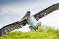 Brown pelican in flight, Galapagos islands Royalty Free Stock Photo