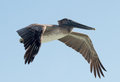 Brown pelican in flight over the shoreline of the gulf of mexico Stock Images